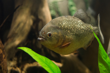 freshwater aquarium plants: close up on piranha fish