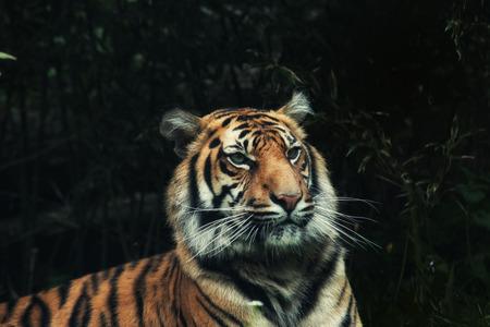 panthera tigris sumatrae: close up on tiger Panthera tigris sumatrae on the grass