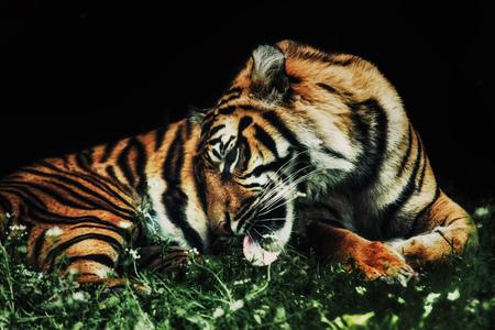 panthera tigris sumatrae: close up on tiger Panthera tigris sumatrae on the grass and black background Stock Photo
