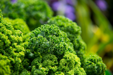 close up on Kale. Green vegetable leaves, healthy eating, vegetarian food. Stock Photo
