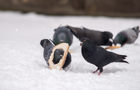 clsose up on two pigeons fighting for food in winter Stock Photo