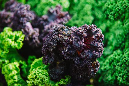 close up on Kale. purple  vegetable leaves, healthy eating, vegetarian food. Stock Photo