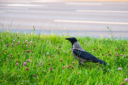 close up on rook bird in the grass Stock Photo