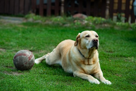 Old Labrador with ball on the grass