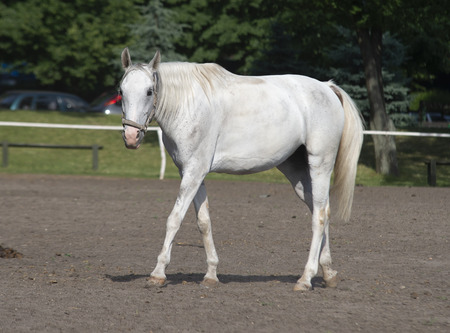 white horse in the yard