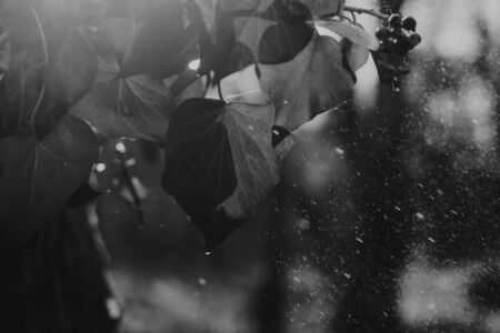 Close up on autumn leaf with water drops and rain, black and white