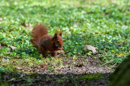 the squirrel eats an acorn Stok Fotoğraf