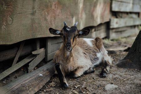 young goat on the farm Stok Fotoğraf