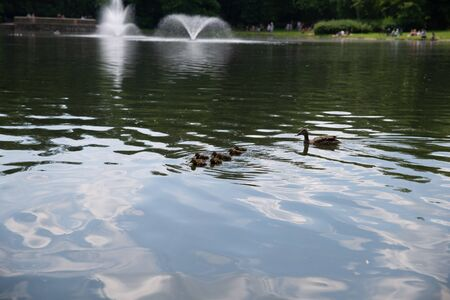 duck with small ducklings swims in the pond Stok Fotoğraf
