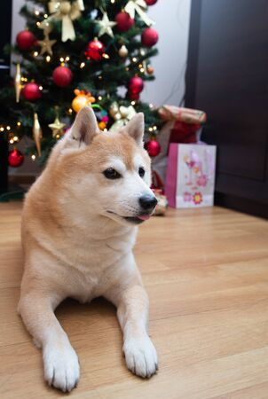 close up on dog with Christmas tree and gifts