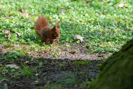 close up on squirrel eats an acorn