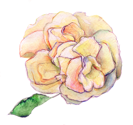 yellow rose: white shade of pink and yellow rose flower - watercolor isolated on white background