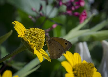 Aphantopus hyperantus butterfly sitting on the yellow flowers of sunflower aster family, Chrysopsis known as golden asters or Heterotheca villosa, macro close up selective focus.