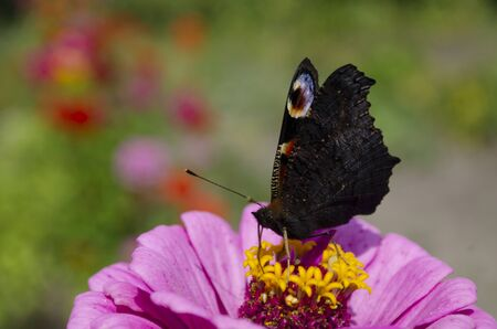 Colorful european peacock butterfly Inachis io, Aglais io sits on an magenta Zinnia flower with closed wings, blurred background. close up, macro Stockfoto