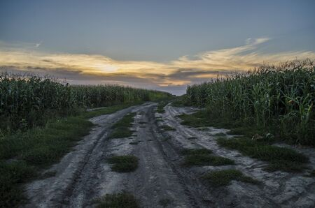 The old country road in the middle of a corn field in the the sunset light. Summer, landscape, Ukraine.