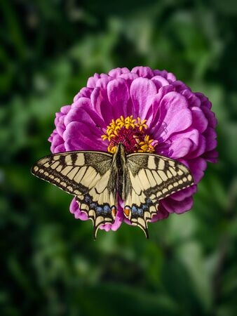 A large machaon butterfly sits on an magenta Zinnia flower. Papilio machaon, the Old World swallowtail, is a butterfly of the family Papilionidae. The butterfly is also known as the common yellow swallowtail or simply the swallowtail. macro, soft selective focus, blurred background Stockfoto
