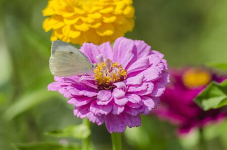 White butterfly sitting on an magenta Zinnia flower. Pieris brassicae, also called the large white, cabbage butterfly, cabbage white, cabbage moth or the large cabbage white.