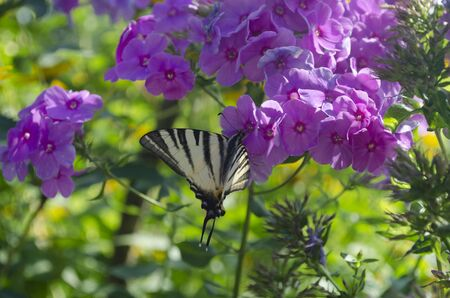 White butterfly with stripes sitting on the purple Phlox flowers. The scarce swallowtail, Iphiclides podalirius is a butterfly, family Papilionidae. Also called the sail swallowtail or pear-tree swallowtail.