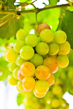Una uva es un fruto no climat�rico, espec�ficamente una baya, y de las vides le�osas caducifolias de la uva Vitis g�nero se pueden comer crudas o se pueden utilizar para hacer mermelada, zumo, mermelada, vino, extracto de semilla de uva, pasas, vinagre , aceite de semilla de uva y Foto de archivo - 14029818