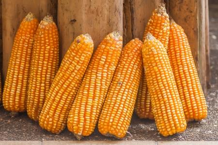 planta de maiz: Las plantas de ma�z Foto de archivo