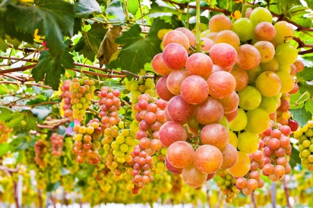 grape seed: A grape is a non-climacteric fruit, specifically a berry, and from the deciduous woody vines of the genus Vitis. Grapes can be eaten raw or they can be used for making jam, juice, jelly, wine, grape seed extracts, raisins, vinegar, and grape seed oil. Stock Photo