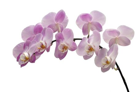 Branch of pink flowers of an orchid on a white background photo