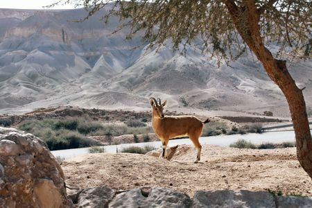 nature reserves of israel: The wild goat is against mountains Stock Photo