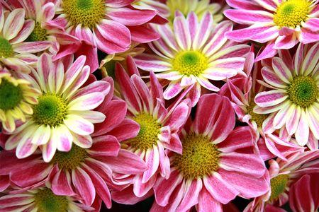 coronarium: Vegetative background from  flowers of a pink chrysanthemum