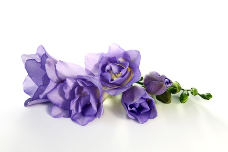 freesia: Freesia flower lies on a white background