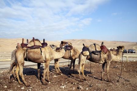 saddle camel: Saddled camels on a farm in the desert