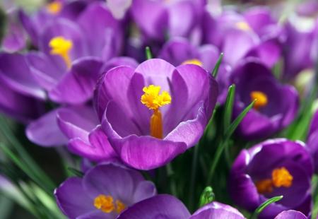 pistil: crocus pistil flowers Stock Photo