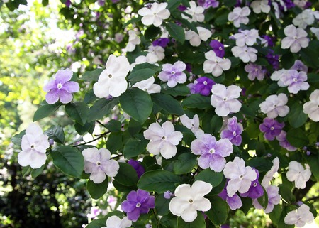 nightshade: Brunfelsiya evergreen shrub of the nightshade family origin from the Antilles