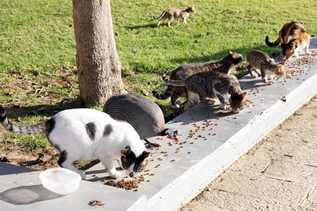 guinea fowl: Feeding the homeless cats and guinea fowl in a public park Stock Photo