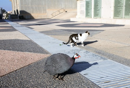 behalf: BEER-SHEBA, ISRAEL - JANUARY 12, 2012: Walks together guinea fowl and a cat in the campus of the University behalf of Ben Gurion, Beer-Sheba Editorial