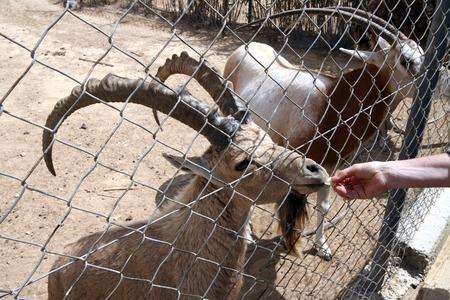wild goat: La alimentaci�n de una cabra salvaje en el zool�gico (Capra aegagrus)