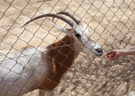 herbivore: Feeding an antelope at the zoo (Hippotraginae) Stock Photo