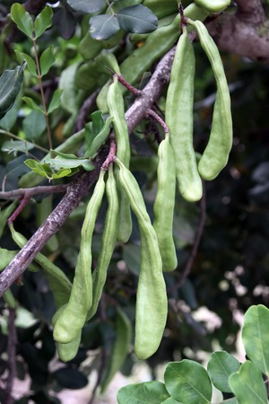 carat: Carob pods are hanging on a branch