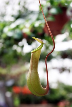 insectivorous: pitcher for catching insects liana Nepenthes Stock Photo