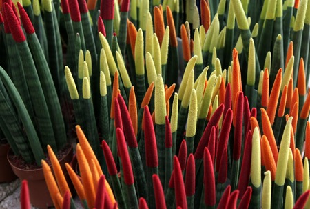cylindrical: Sansevieria cylindrical, painted in different colors Stock Photo