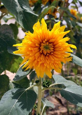 helianthus: Helianthus annuus yellow flower growing in a field