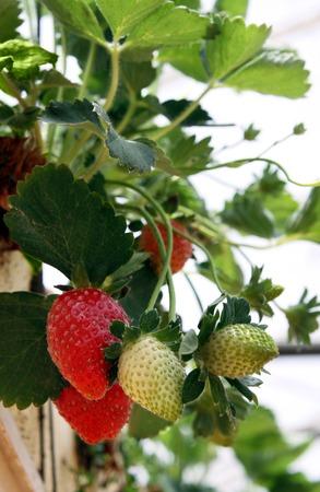 method: Hanging method of growing strawberries in greenhouses