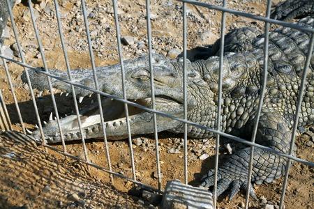 behind bars: Nile crocodile in the aviary behind bars Stock Photo