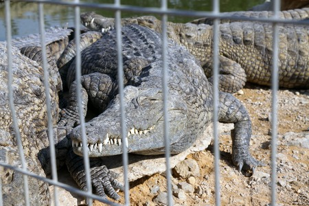 aviary: Nile crocodile in the aviary behind bars Stock Photo