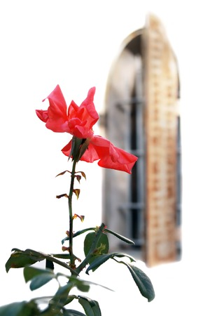 red shutters: Red rose on a background of an old window