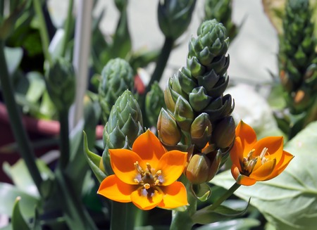 ornithogalum: Orange decorative flowers and buds Ornithogalum Stock Photo