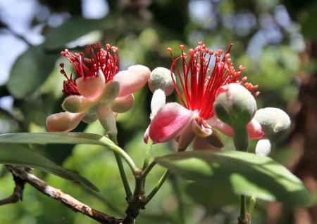 feijoa: Spring flowering of evergreen fruit tree feijoa Stock Photo