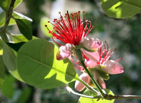 feijoa: Spring flowering of fruit tree feijoa