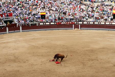 matador: MADRID, SPAIN - OCTOBER 05, 2013: Korrida in Madrid.The bull gored matador