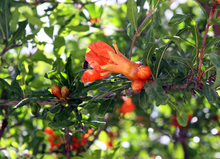 Flowering pomegranate tree in the spring with fruit ovary