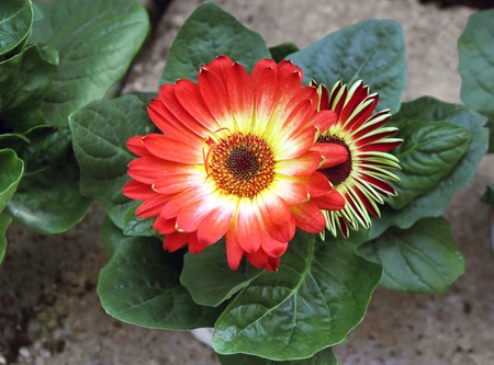 nature beauty: Gerbera red flower with yellow  mid among green leaves